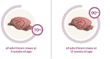 adult-brain-mass